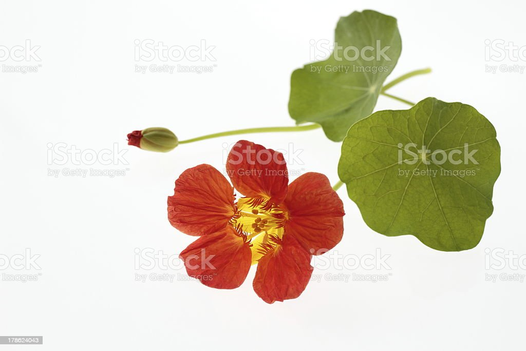 Bright orange nasturtium royalty-free stock photo