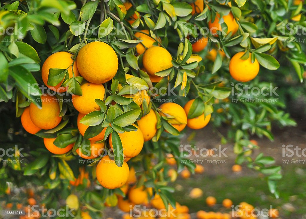 bright orange naval oranges on tree stock photo