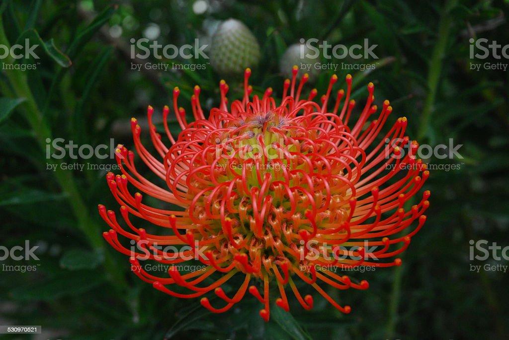 Bright Orange Proteus Flower royalty-free stock photo