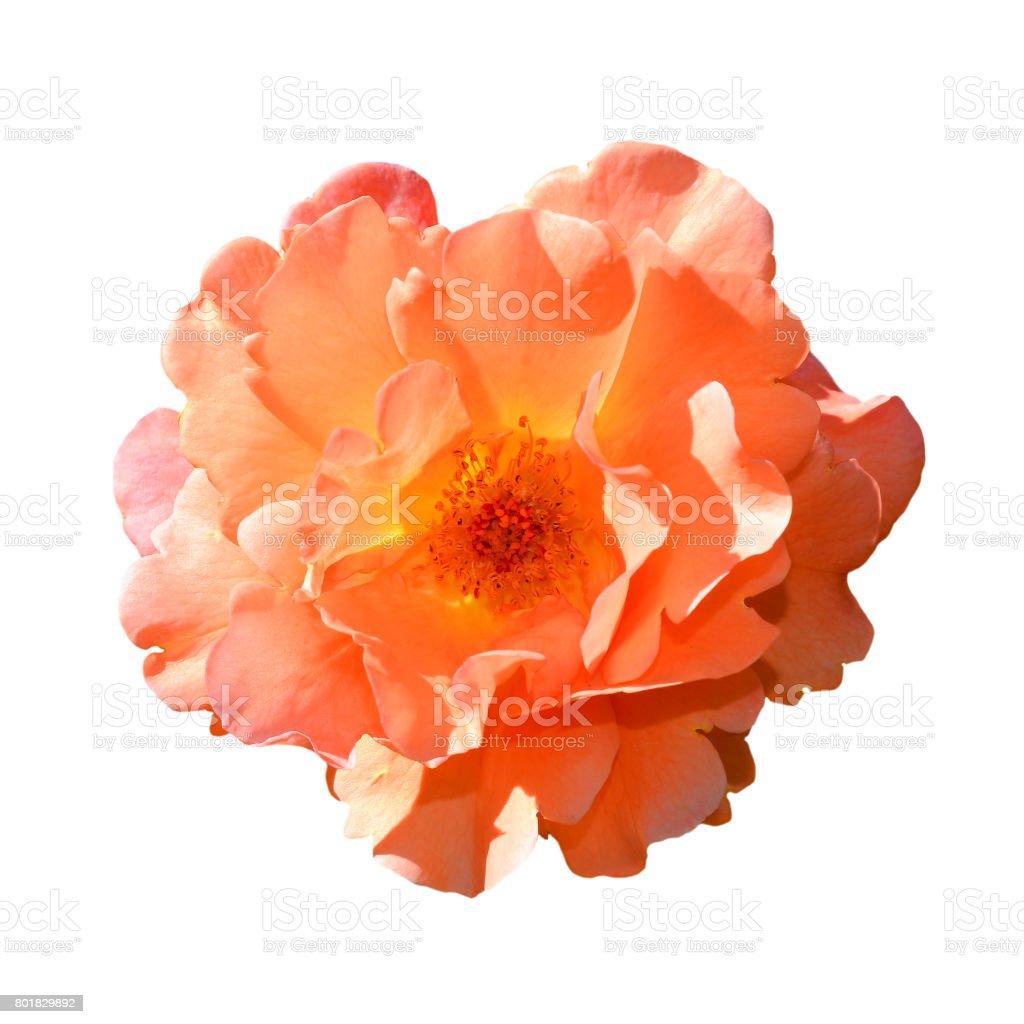 Bright orange rose isolated on white background stock photo