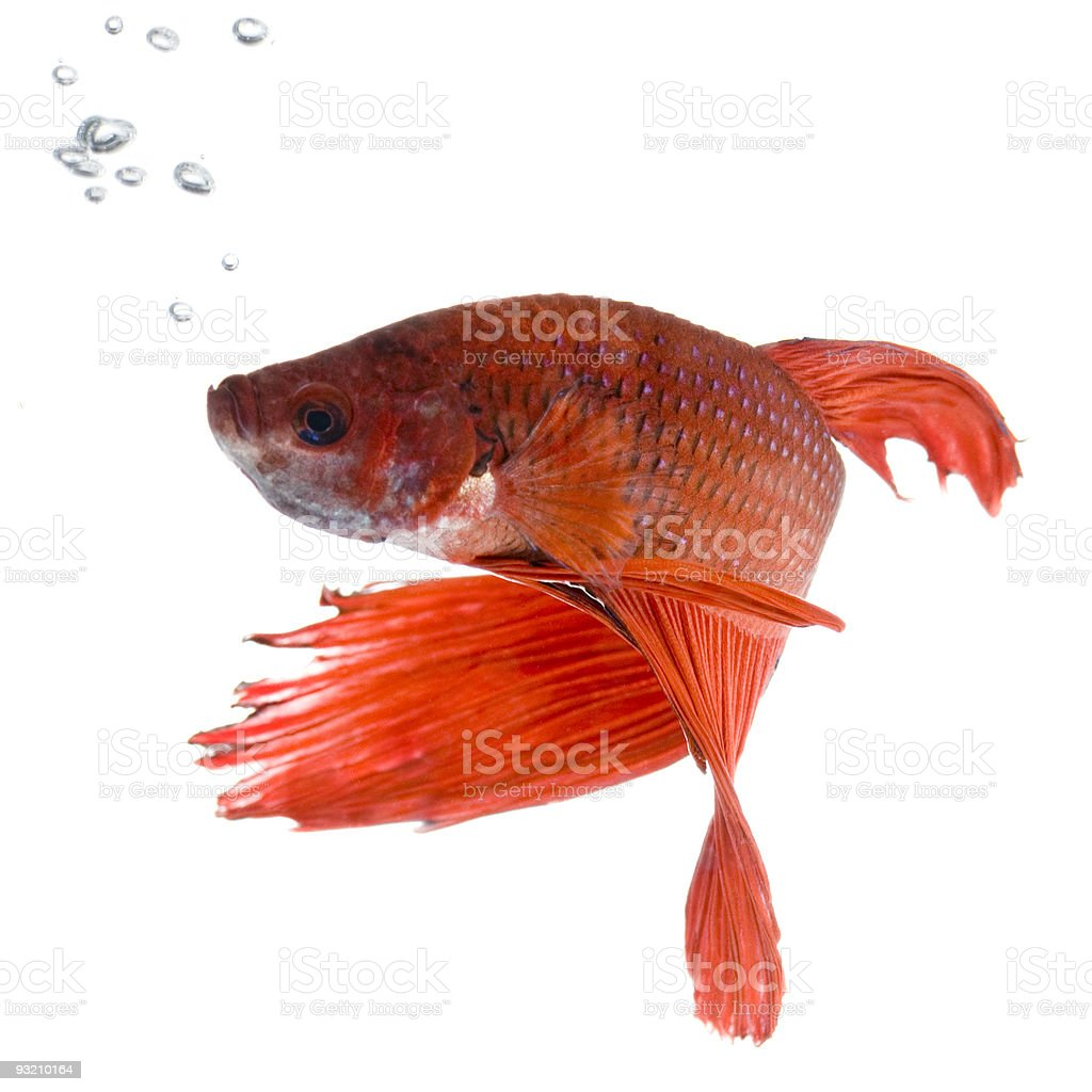 Bright orange Siamese fighting fish with bubbles royalty-free stock photo
