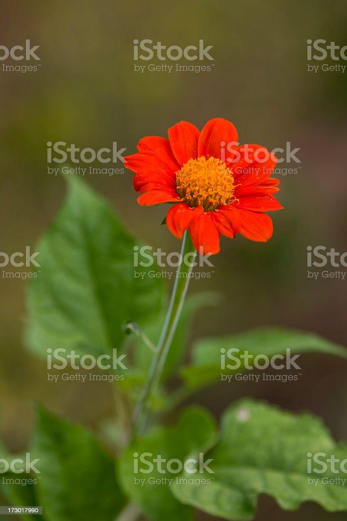 Bright orange Zinnia. stock photo