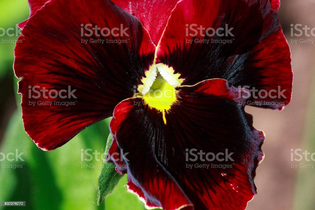 Bright pansies bloom on a green meadow. stock photo