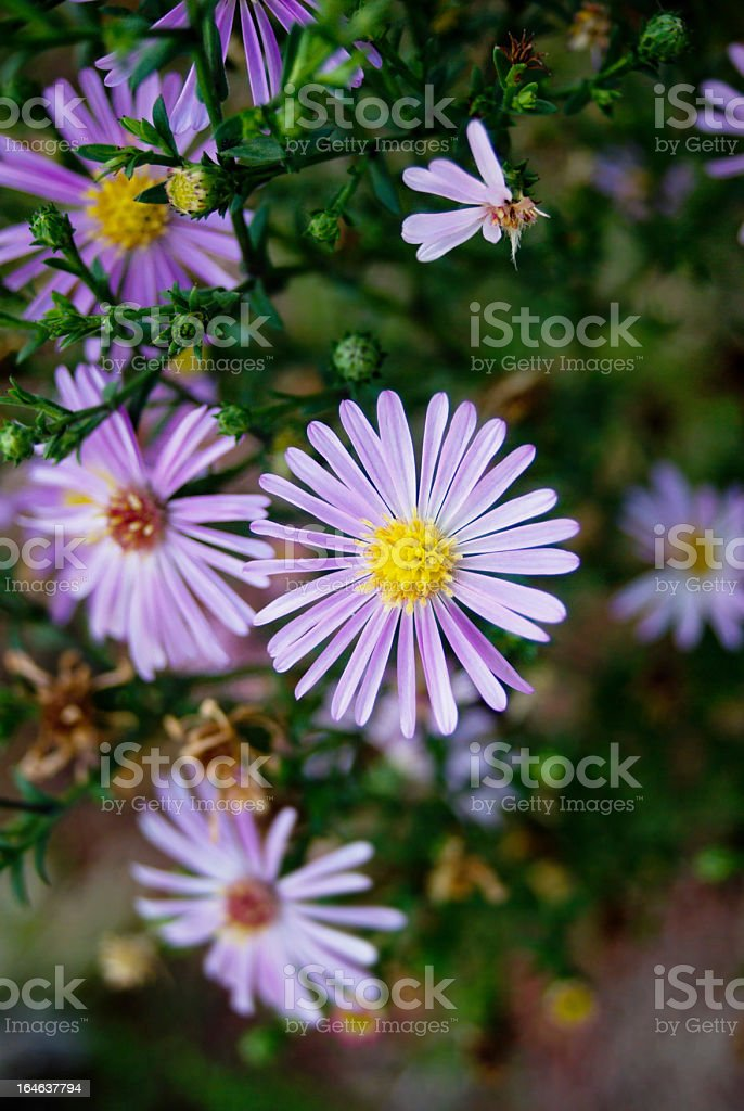 bright pink aster flowers bloom in garden stock photo