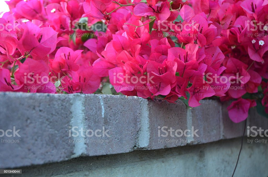 Bright Pink Bougainvillea Vines Covering White Brick Wall, Copy Space royalty-free stock photo