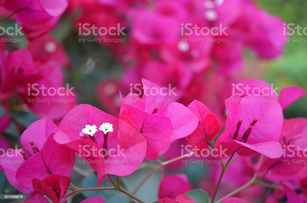 Bright Pink Bougainvillea Vines royalty-free stock photo