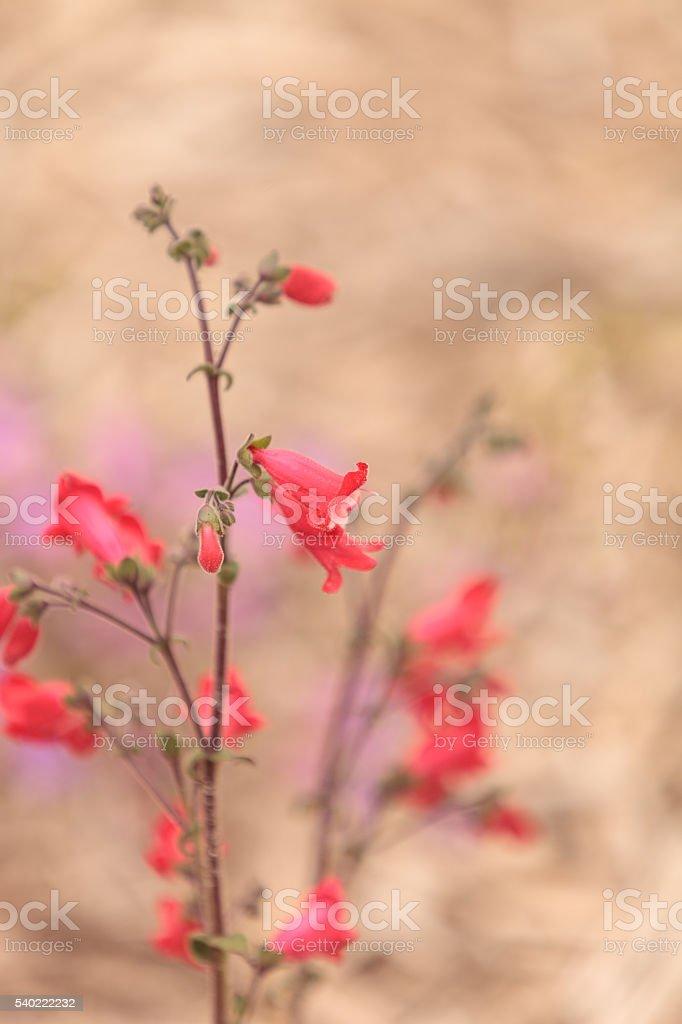 Bright pink desert penstemon flower stock photo