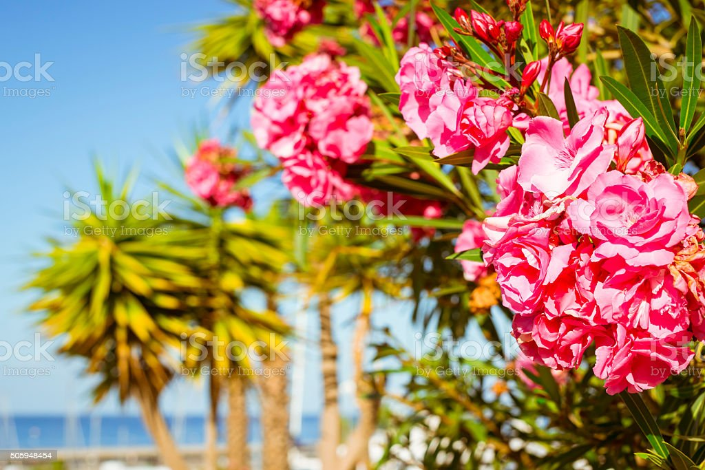 Bright pink flowers on a background of palm trees stock photo
