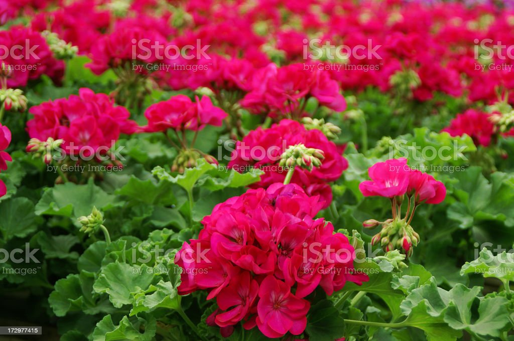 Bright Pink Geraniums in Greenhouse royalty-free stock photo
