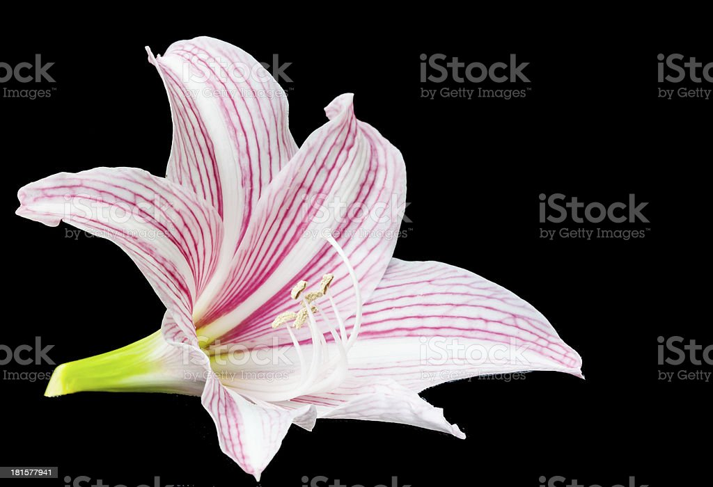 Bright pink lily royalty-free stock photo