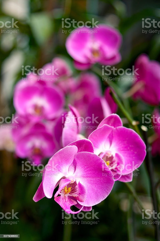 Bright pink orchids stock photo