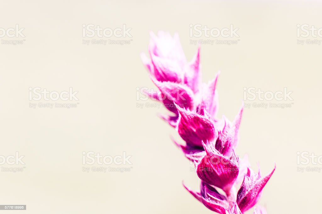 Bright pink salvia flower, copyspace stock photo