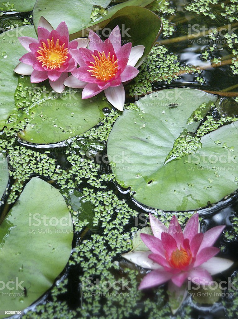 Bright pink water lilies and green leaves in a pond stock photo