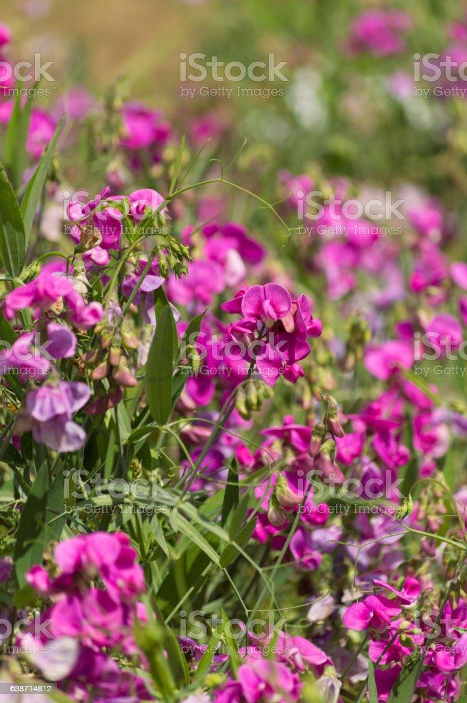 Bright pink wild vetch flowers background stock photo