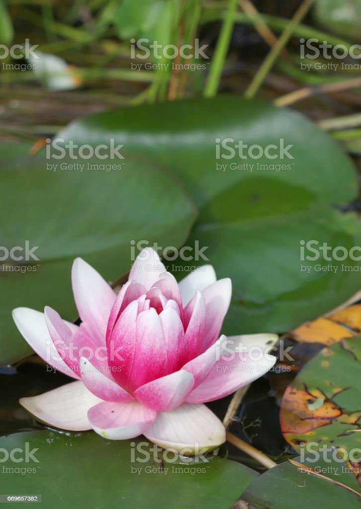 Bright pink with white water lily growing in the lake stock photo
