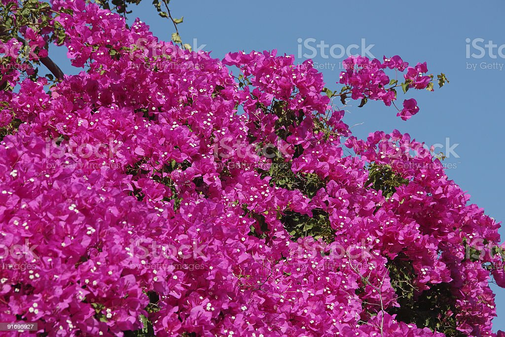 Bright pinkish Bougainvillea Flowers with blue background royalty-free stock photo