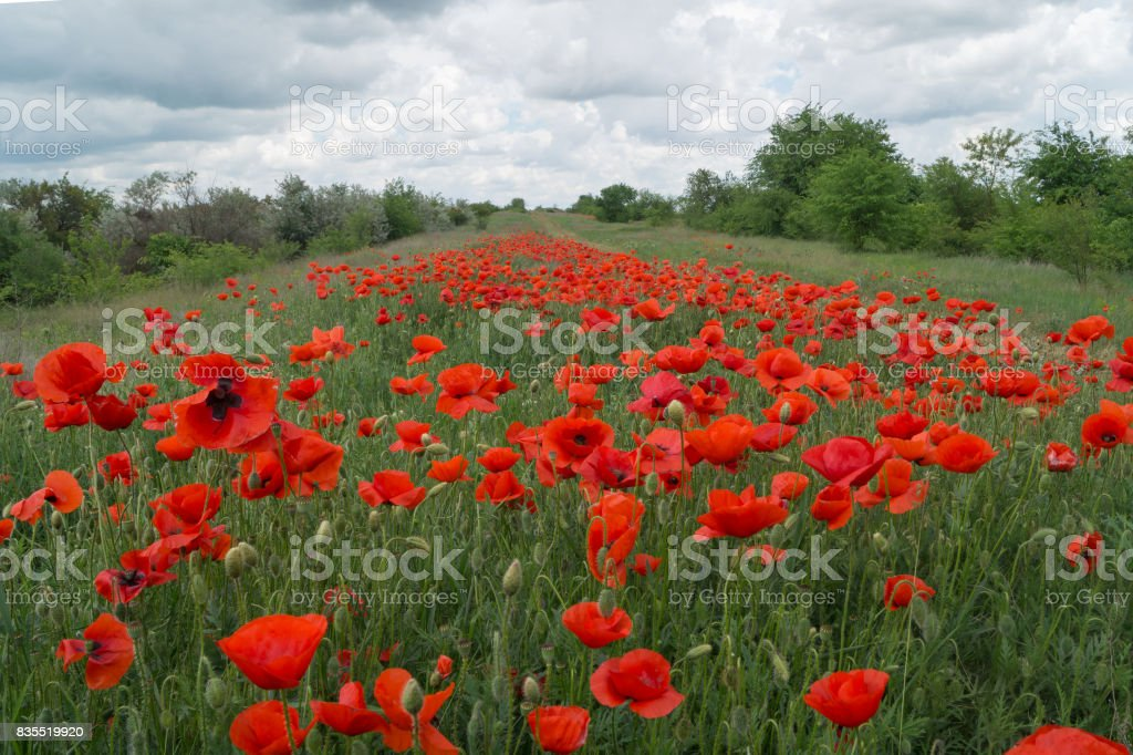 Bright poppies grow on the field under the blue cloudy sky stock photo