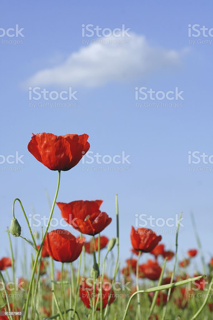 bright poppys and white cloud royalty-free stock photo