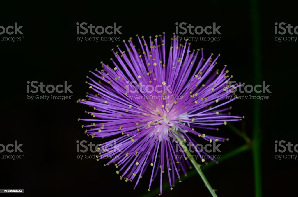 Bright purple and yellow flower of sensitive plant stock photo