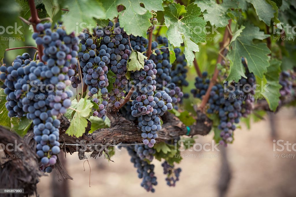 Bright purple clusters of grapes in Napa Valley California vineyard stock photo