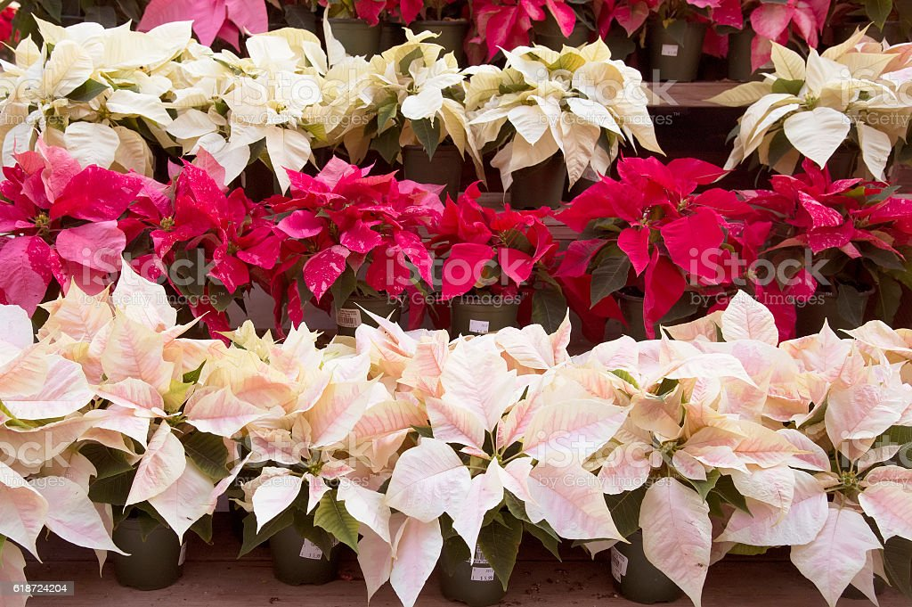 Bright red and pink poinsettia or christmas flower stock photo