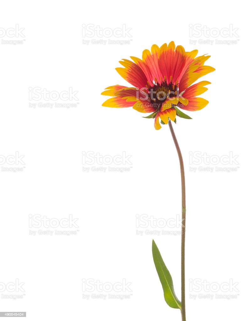 bright red and yellow flower Gaillardia stock photo