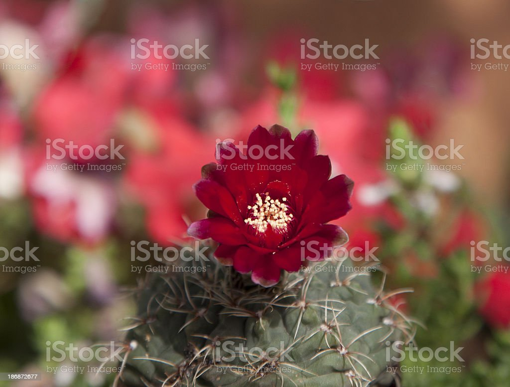 Bright Red Cactus Flower royalty-free stock photo