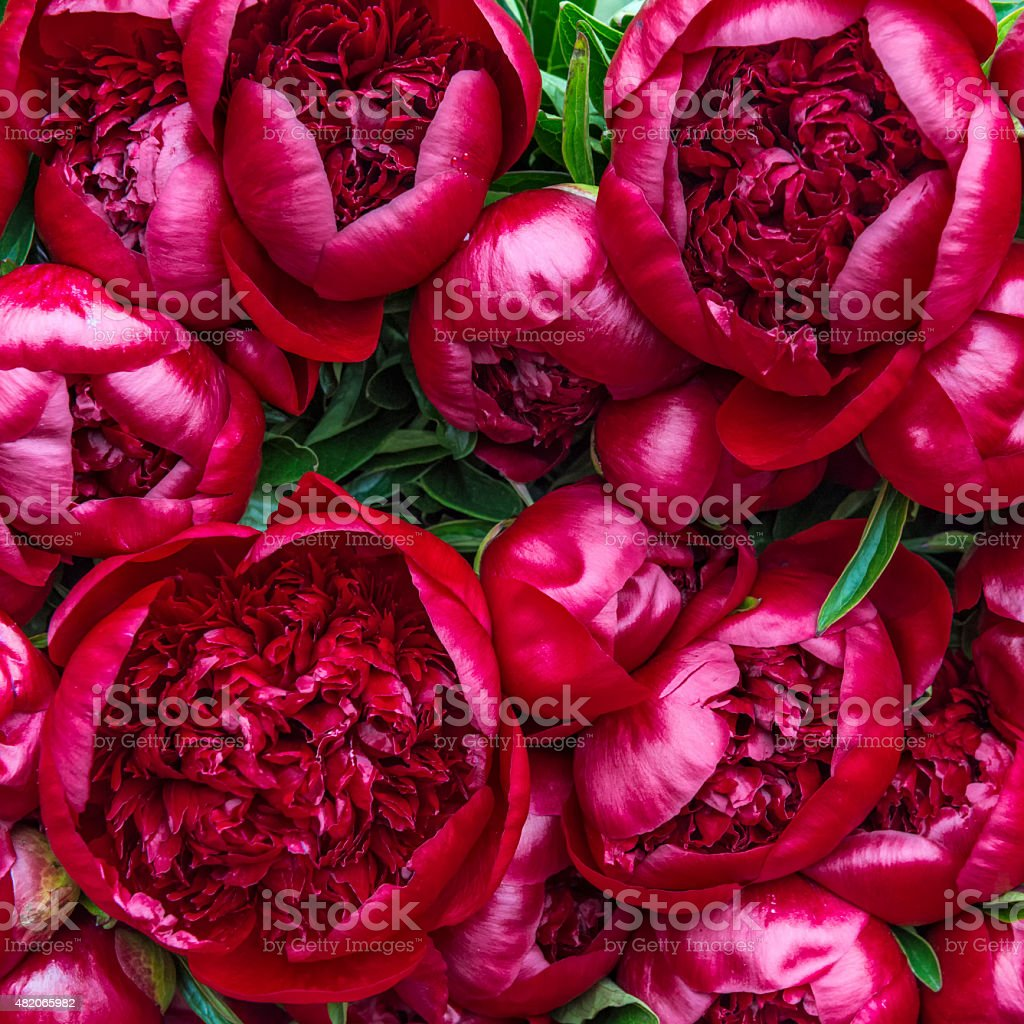 Bright red circular Peony flowers on display stock photo