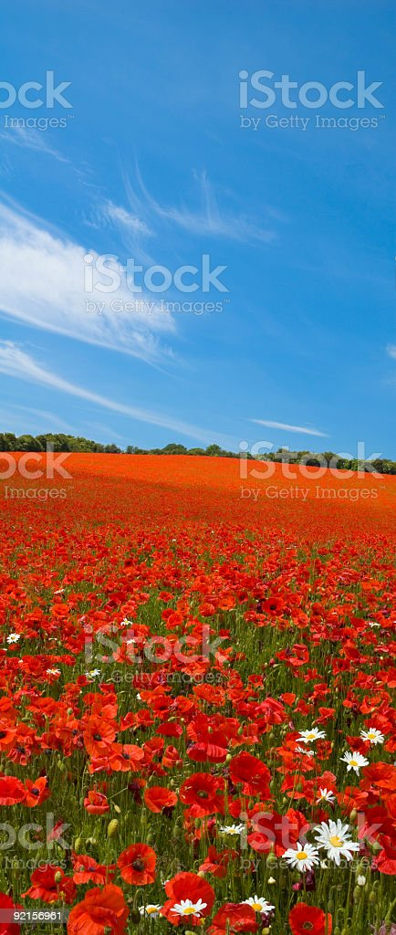 Bright red flower field royalty-free stock photo