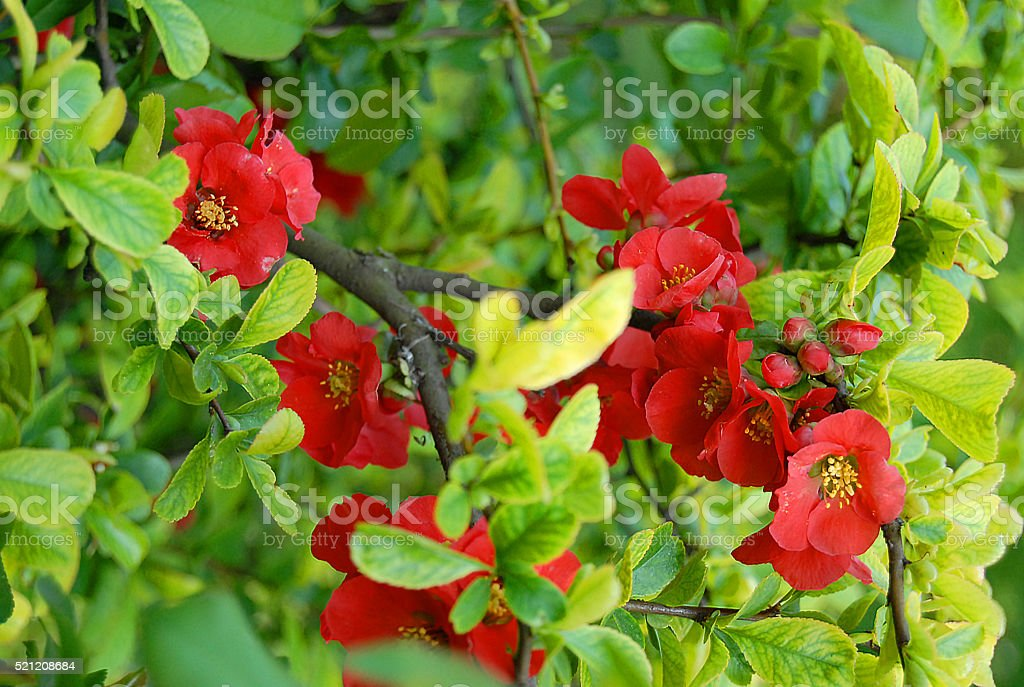 bright red flowers and fresh green leaves stock photo