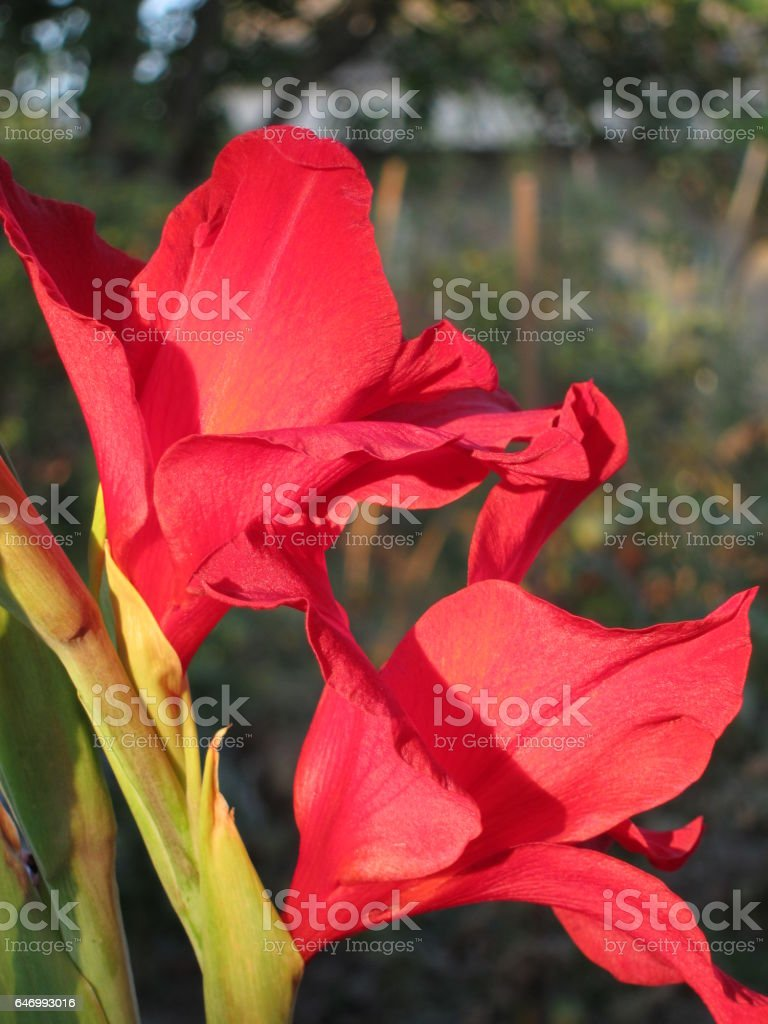 Bright red flowers gladiolus stock photo