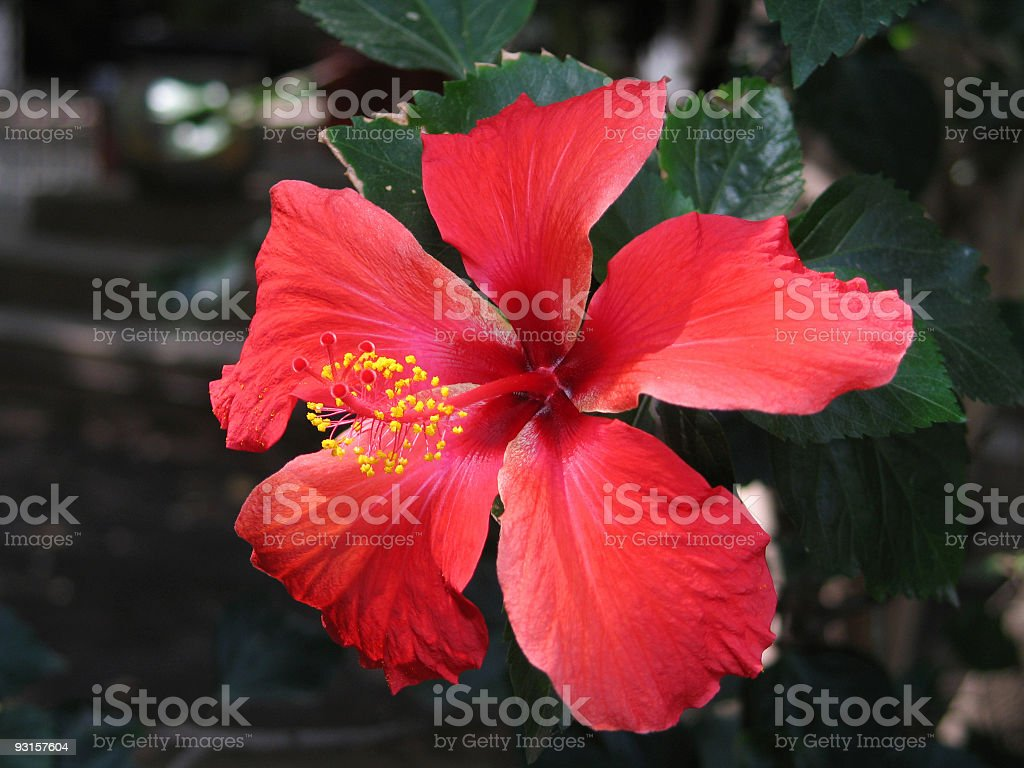 Bright Red Hibiscus royalty-free stock photo