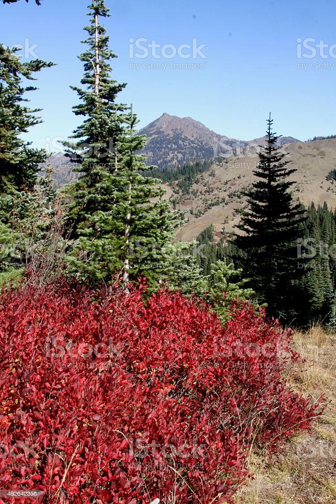 Bright Red Huckleberry Bushes stock photo