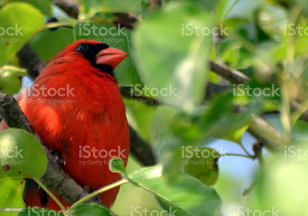 Bright Red Male Cardinal In Pear Tree. stock photo