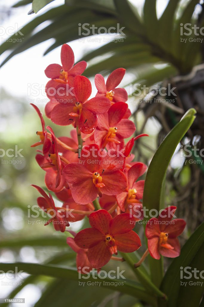 Bright Red Orchids royalty-free stock photo