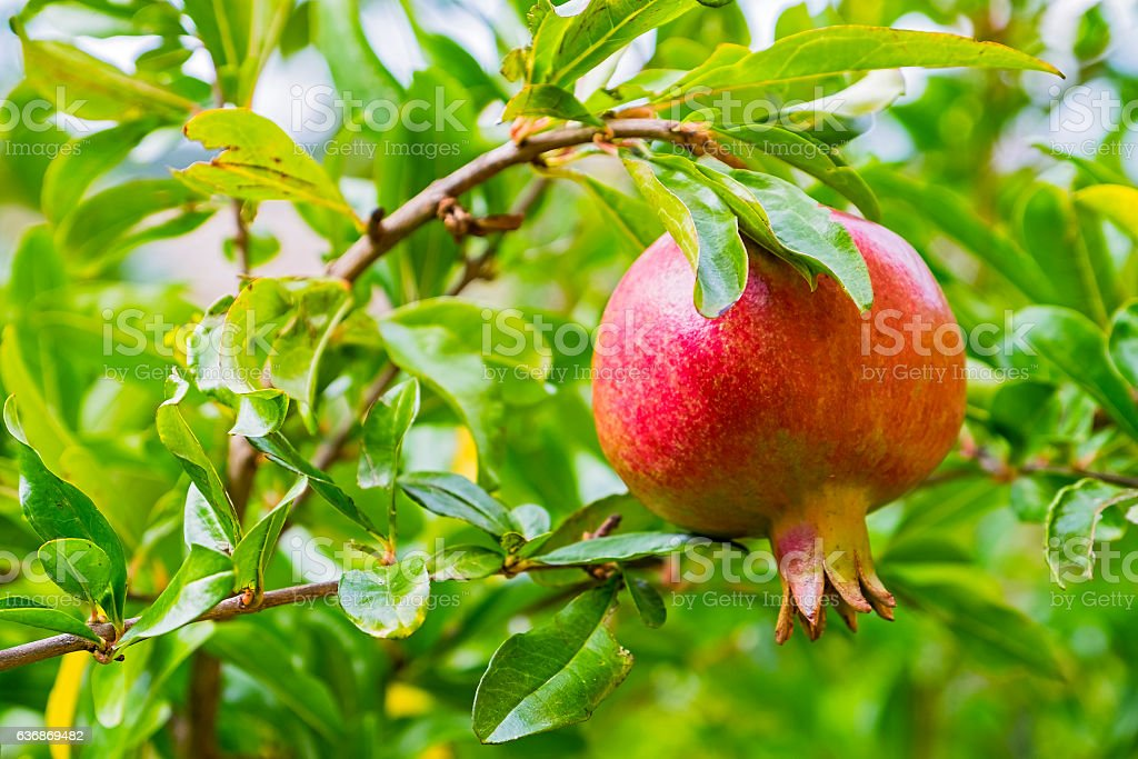 Bright red pomegranate fruit ripening on green tree stock photo