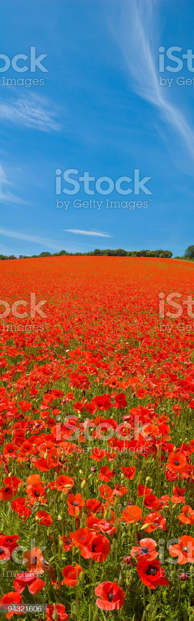 Bright red poppies, blue sky royalty-free stock photo