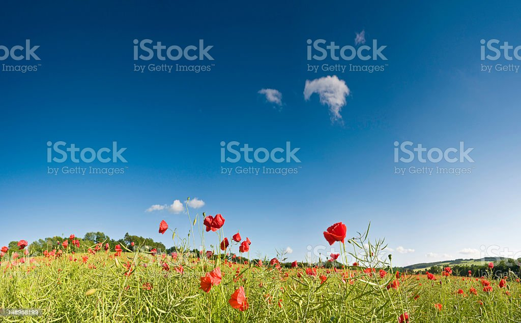 Bright red poppies green field blue sky royalty-free stock photo