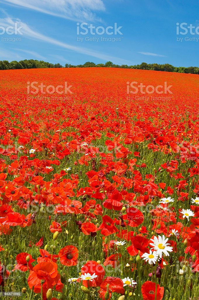 Bright red poppies royalty-free stock photo