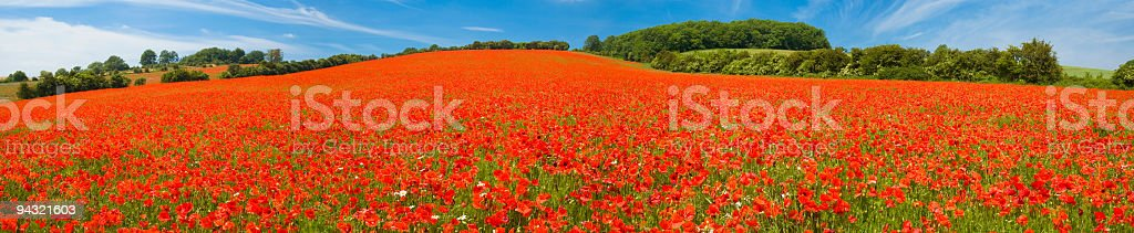 Bright red poppy field royalty-free stock photo