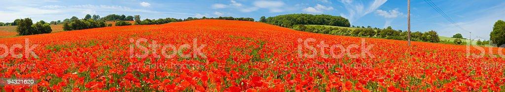 Bright red poppy field royalty-free stock photo