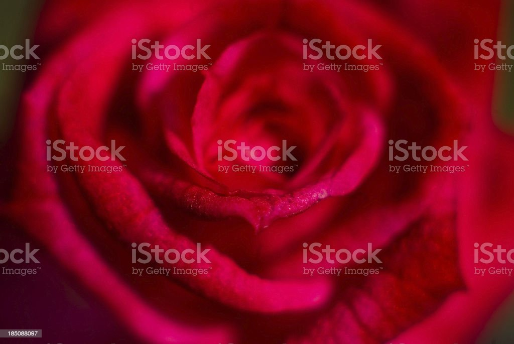 bright red rose close up stock photo