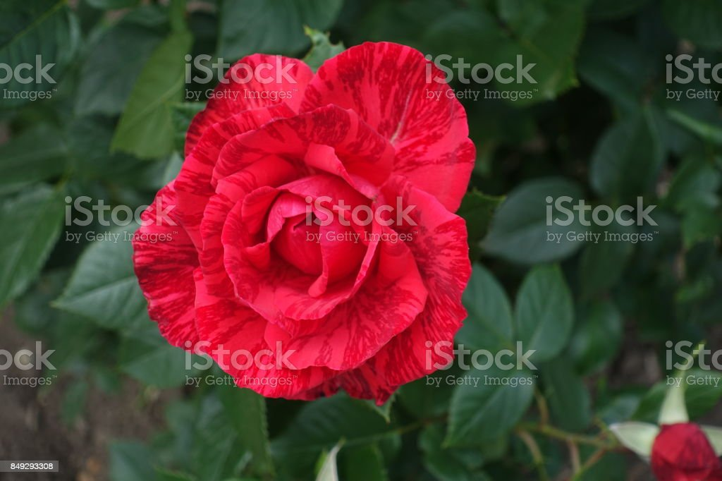 Bright red rose flower  accentuated with dark stripes stock photo