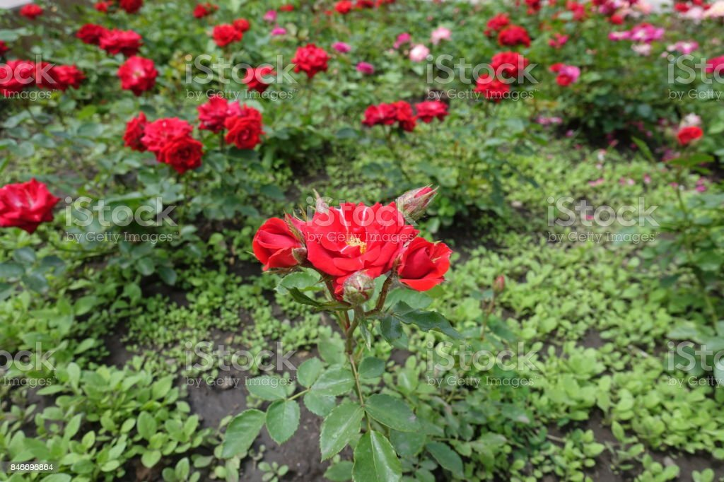 Bright red rose flowers in the flowerbed stock photo