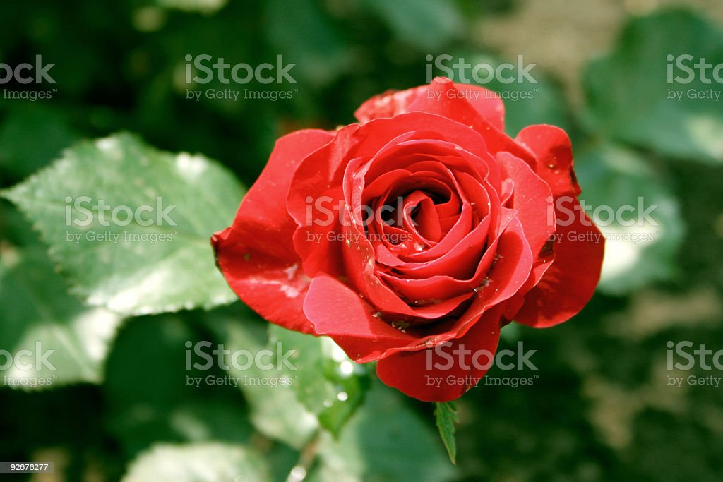 Bright red rose royalty-free stock photo