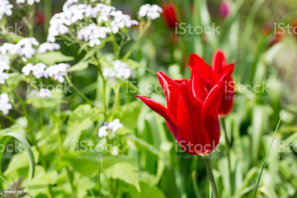 Bright Red scalloped Tulips against lush green foliage stock photo