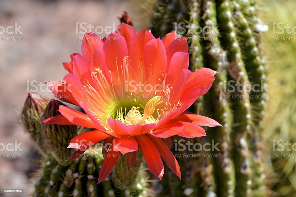 Bright Red Torch Cactus stock photo