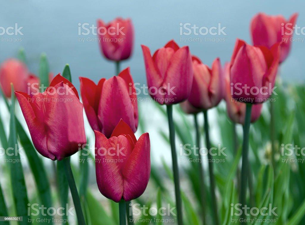 Bright Red Tulip Garden stock photo