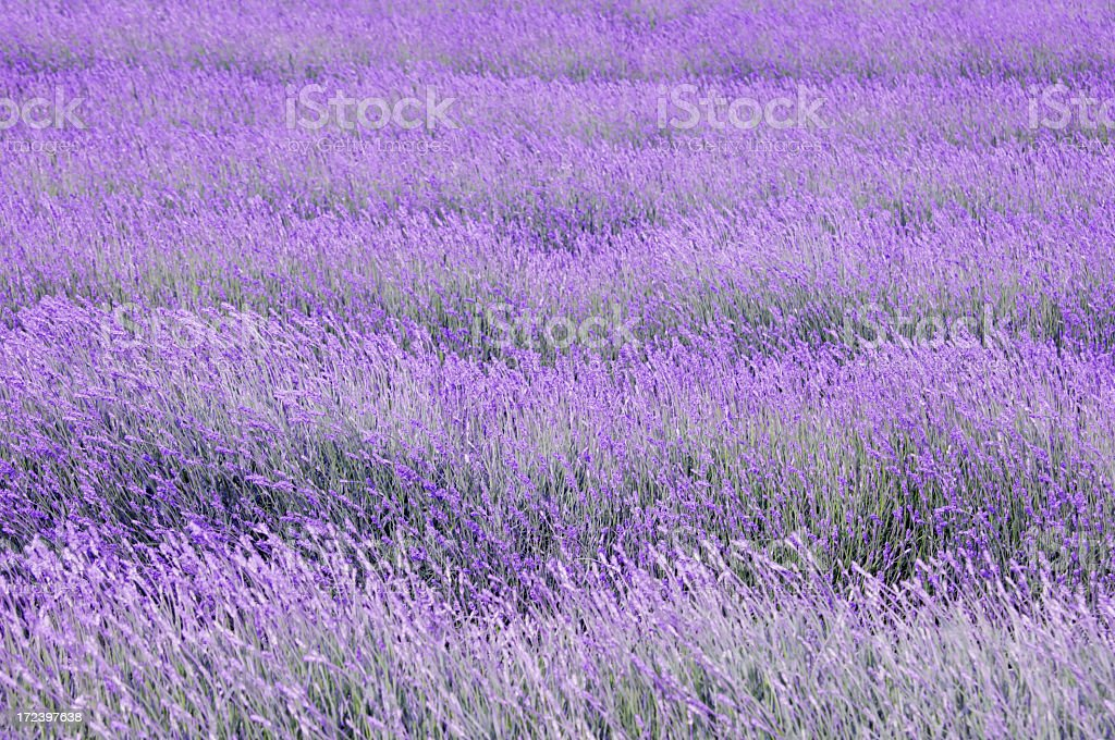 Bright rows of lavender in field  royalty-free stock photo