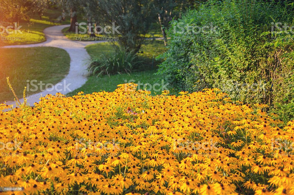 Rudbeckia fulgida stock photo